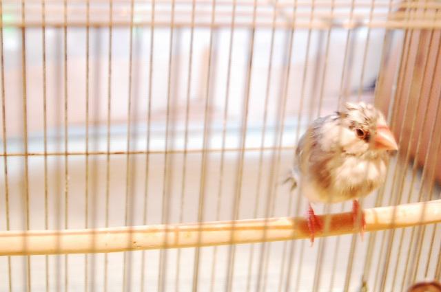 【文鳥】初めての水浴び