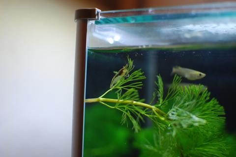 【8日目クロメダカ】きょうの水槽