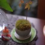 ミニ盆栽「石木花」の山苔が茶色く変色してきた。水やりと日当りを変えてみる