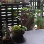 大阪で盆栽や「石木花」のような苔玉を探す初心者ならniwa qに行ってみよう!そして初めての盆栽を買ったよ
