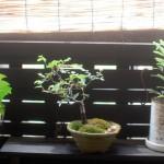 【けやき盆栽】盆栽歴2週間の超ド素人が剪定と芽摘みで波平のパチパチの楽しさを理解した件
