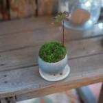 【石木花】苔の緑を100%復活させるなら安くて簡単な苔の全面張替えがオススメ
