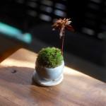 【石木花】ホソバオキナゴケの全面張替から1ヶ月経過