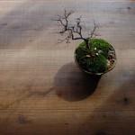 【けやき盆栽】冬は枝ぶりを楽しむ。この愉しみがわかるオレって大人やわ