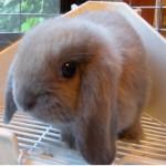 「マツコの知らない世界」うさぎ特集で紹介されたミニウサギ、ホーランドロップ、ネザーランドを飼ってた俺から一言「うさぎのカワイさは半端ない」
