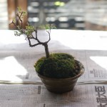 けやき盆栽がひっくり返ったので植え直して修復するの巻