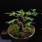 【けやき盆栽】芽摘みで葉がもっさり。この時期、水のやりすぎには注意しましょう