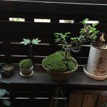 【石木花】苔が枯れてきたので全面張替え。ついでに盆栽もね
