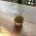 石木花もみじに今年も新芽が出てきた。んっ?でも何か去年と違うぞ。。。