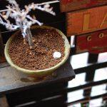 【けやき盆栽】3回目の春なのに新芽の出る気配がないぞ。ひとまず肥料を置いて様子をみる