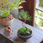 盆栽教室にて超絶シブい黒松ミニ苔盆栽を作った。大阪平野区にあるniwa qにて